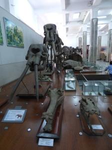 Fosil gajah di museum geologi